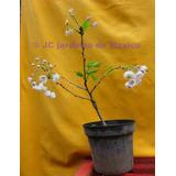 Cerezo Japones - Prunus Serrulata Kwanzan Chico, Ultimos