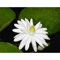 10 Semillas De Nymphaea Juno White - Nenufar Blanco C. 605