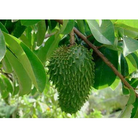 12 Semillas De Annona Muriacata - Guanabana Codigo 996