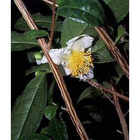 10 Semillas De Camellia Sinensis - Arbol Del Te Verde C. 319