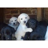 Cachorro Labrador Dorado 100% Puro Envio Nal Y Guacal Gratis