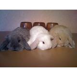 Lindísimos Conejos Belier (mini Lop) De Raza Pura
