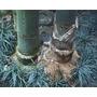 Semillas De Dendrocalamus Giganteus - Bambu Gigante Cod 1313