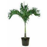 Mudas Palmeira Veitchia (manila) 4,50 R$