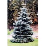 10 Semillas De Picea Pungens (pino Azul) $50 Codigo 924