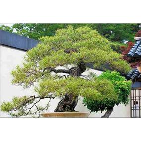 10 Semillas De Pinus Densiflora - Pino Rojo Japones Cod. 944