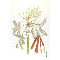 25 Semillas De Leucaena Leucocephala - Arbol Del Guaje