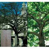 5 Semillas De Ceiba Pentandra (arbol Del Algodon) Codigo 879