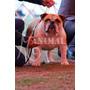 Joven Campeón Chileno Bulldog Inglés Para Cruza!!!