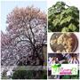 (12) Sementes Kiri-japonês Paulownia + Folheto Como Plantar!