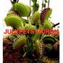 Plantas Carnivoras Venus Atrapa Moscas Dionaea Julypets