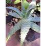 Aloe Común. Pita Real. En Maceta Cultivo De 3 Litros