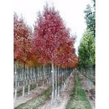 Fresno Raywood 6-8cm Circunsf. 200-250cm Vivero Iris