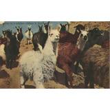 Jujuy - Llamas En El Altiplano - 1959 (#759)