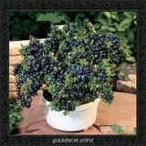 Frete Grátis *** 30 Semente Blueberry Mirtilo + Brinde