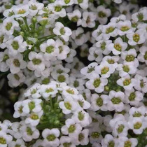 100 Sementes Alyssum Branco - Flor De Mel - Com Garantia