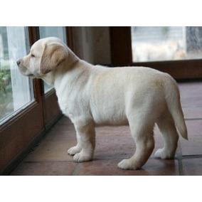 Labrador Retriever Cachorros Excelentes Rockefeller Willsam