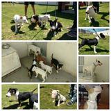 Bull Terrier Ingles Calidad De Exposición Pedigree Azul