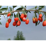 500 Sementes Goji Berry, Dieta,fibra,licopeno