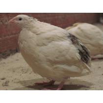 Ovos Codornao Gigante Branco Galados Compre 12 Leve 15