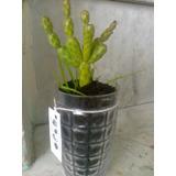Cactus Decorativos ,,,ideal Para Decorar Ese Pequeño Rincón