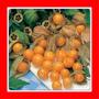 Sementes De Physalis Edulis Frutas Exoticas Cape Gooseberry