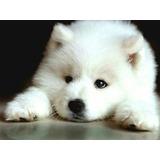 Samoyedo Cachorras Hermosas