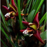Mudas De Orquideas Maxilaria Tenuifolia Linda E Perfumada