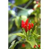 Pimentas Birds Eye De Africa Mudas Plantas Jardim Sementes