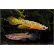 Killifish: Aplocheilus Lineatus Gold (20 Ovos)