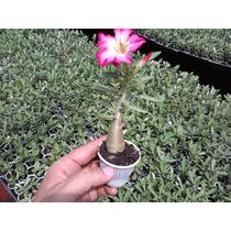 Rosa Do Deserto 10 Cm Mudas Cores Mix