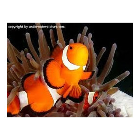 Peixe Palhaço Ocellaris (nemo) Médio 3 A 4 Cm - Marinho