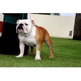 Bulldog Ingles - Vendo Cruza / Monta / Inseminacao