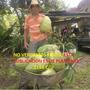 Plantines De Guanabana Graviola Frutales Exoticos Tropicales
