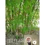 10 Sementes De Bambu Gigante Ferro - Dendrocalamus Strictus
