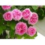 Rosa Trepadora Color Rosa 8 Semillas Estratificar Sol Sdqro