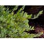 Sementes De Jojoba - Bulbos Mudas Rizomas Plantas Jardim