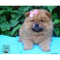 Cachorras Chow Chow Color Leonadas. Envios/cuotas!