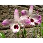 Orquídea Dendrobium Nobile - 2 Mudas Por R$10!
