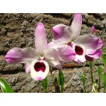 Orquídea Dendrobium Nobile (olho De Boneca) - Mudas