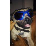 Zeus El Pug, Dios Canino Del Olimpo, Semental Para Monta!