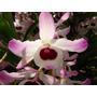 Mudas Orquídea Dendrobium Nobile - 2 Mudas Adultas Por R$10!
