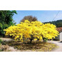 40 Sementes Flamboyant Amarelo Alta Germinação Delonix Regia
