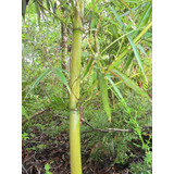 Rizomas De Bambu - Phyllostachys Viridis (vara De Pesca)