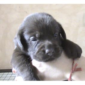 Labrador Retriever Chocolates Cachorros Rockefeller Willsam