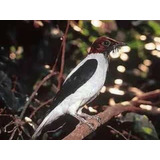 Cd - Canto Araponga-de-barbelas - C. De Pássaros - Maior Var