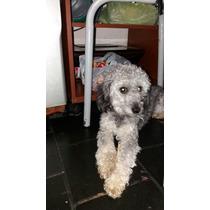 Vendo Caniche Macho De 2 Años
