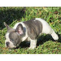 Bulldog Frances Macho, Blue Pied, Top..pedigree Cbkc...