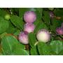 25 Sementes De Guajiru (abajeru)