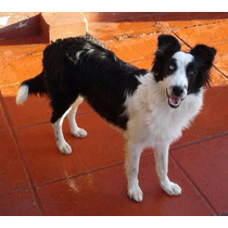 Cachorros Border Collies